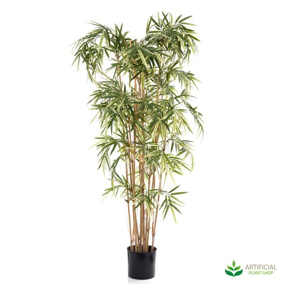 Royal Bamboo Varigated 1.7m