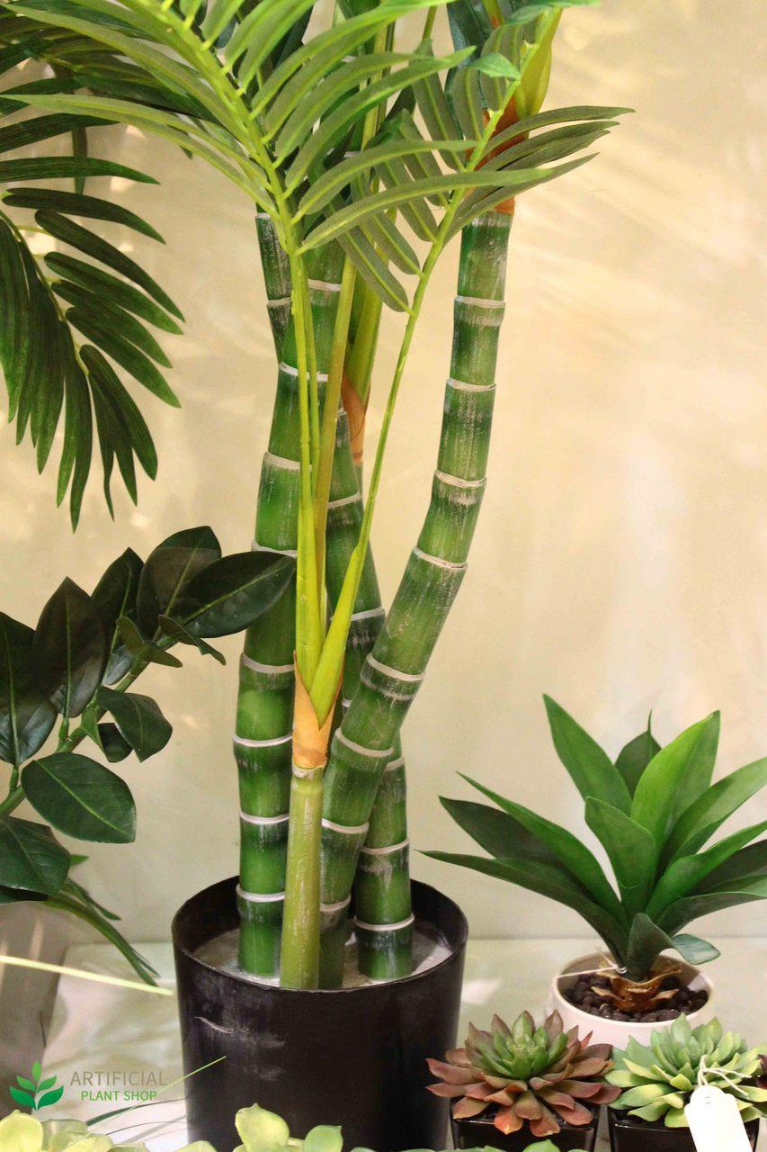 Multiple Trunk Areca Palm