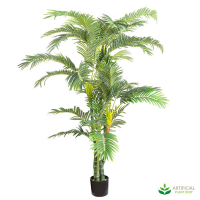 Parlour Palm 1.8m (Twisted Trunks)