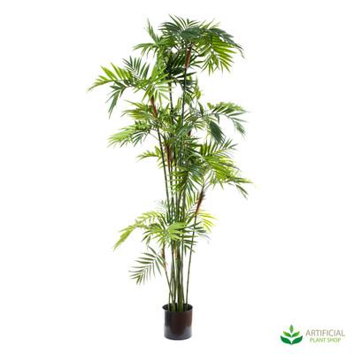 Parlour Palm 2m