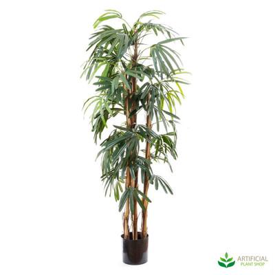 Raphis Palm 1.7m