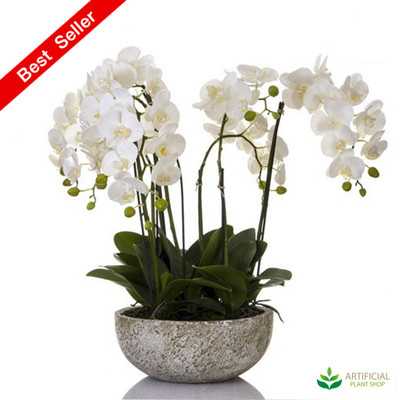 Orchid 62cm in round clay pot