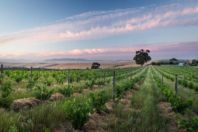 mullineux-scenic-vineyard.jpg