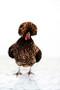 x1https://cdn10.bigcommerce.com/s-b76sgj/products/121/images/8137/Chicken_11x14_V4__43868.1624839089.1280.1280.jpg?c=2x2