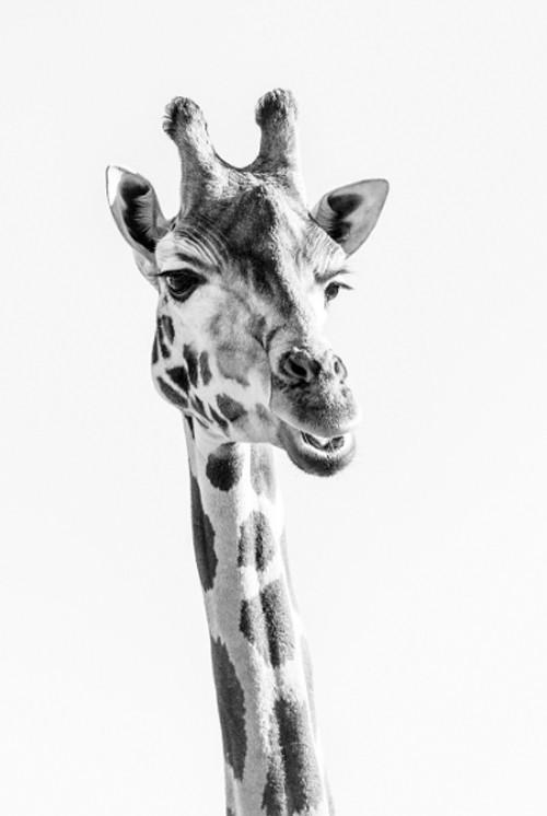 x1https://cdn3.bigcommerce.com/s-b76sgj/products/407/images/3735/giraffe-xl__02833.1527650365.1280.1280.jpgx2