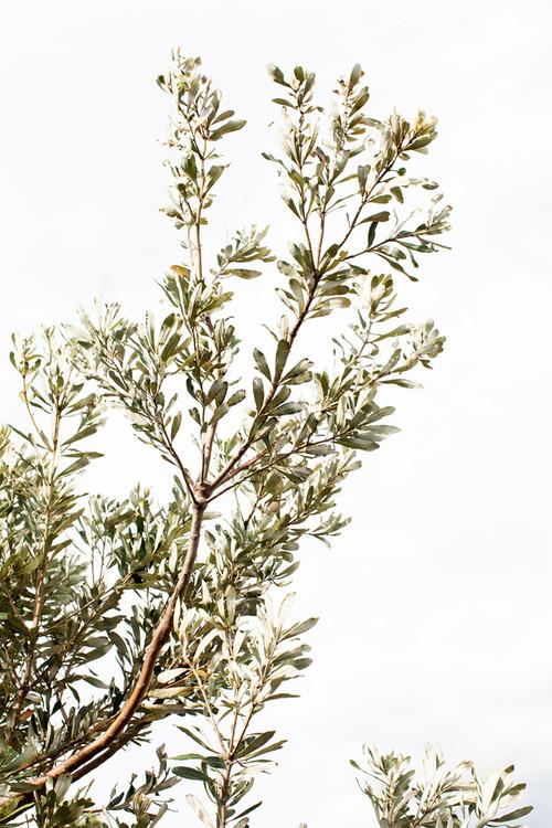 x1https://cdn10.bigcommerce.com/s-b76sgj/products/843/images/6256/Coastal_Banksia__Small__77761.1574727766.1280.1280.jpgx2