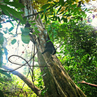 Belize Howler Monkey in Tree