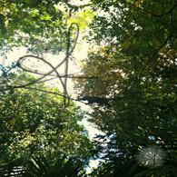 Belize Howler Monkey in Jungle