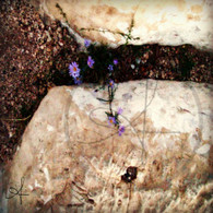Grand Canyon Purple Mountain Flowers