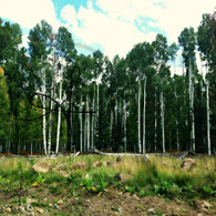 Birch Trees Coconino National Forest