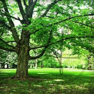 Crapo Trees and Grass