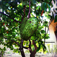 Belize Soursop in Tree