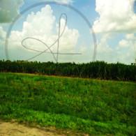 Belize Sugar Cane Field