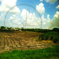 Belize Sugar Cane and Field