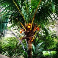 Belize Baby Coconuts