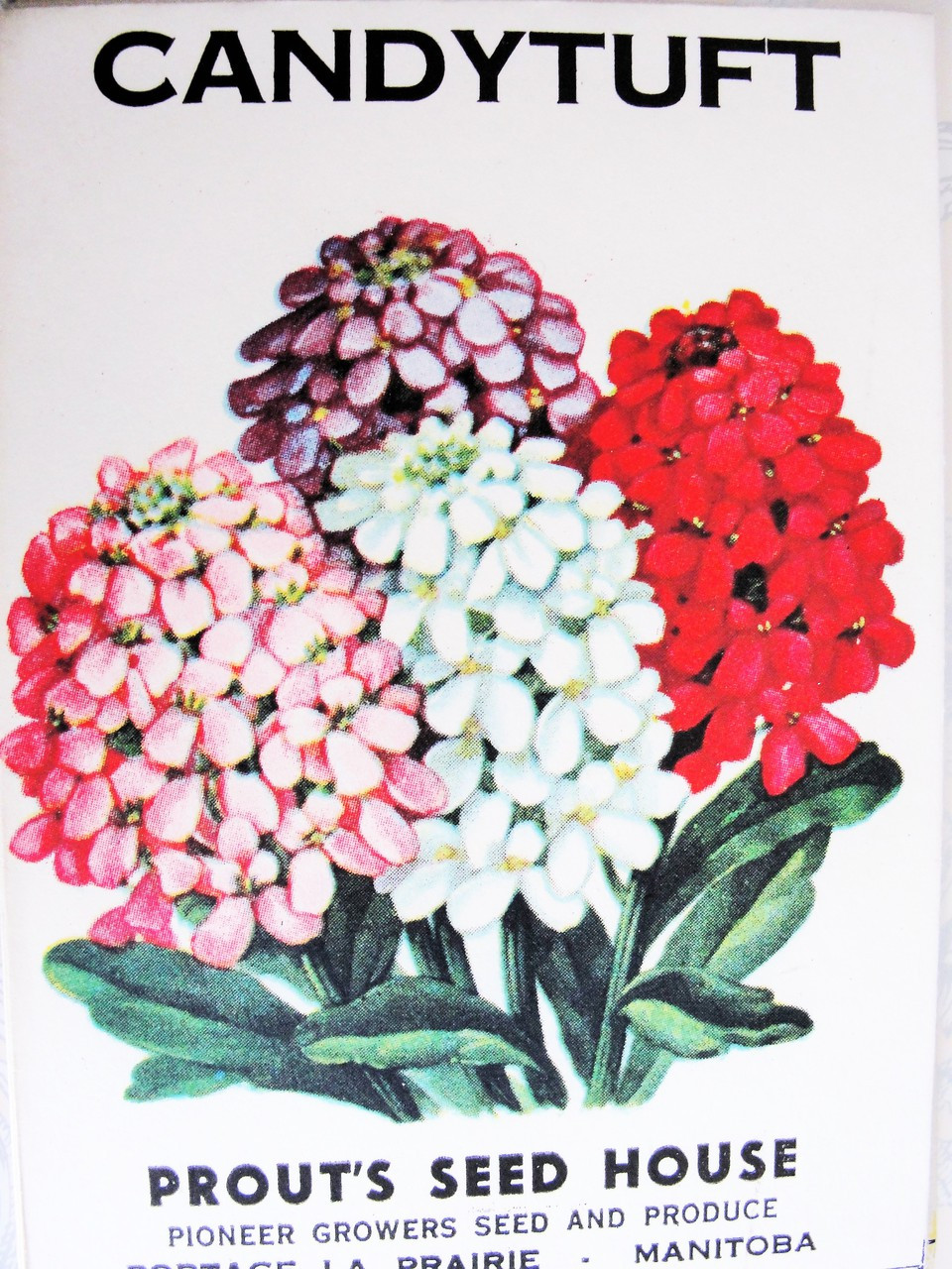 1930s COLORFUL Vintage CANDY TUFT Flowers Seed Packet Perfect To Frame,  Scrapbooking, Weddings, Gift For The Gardener