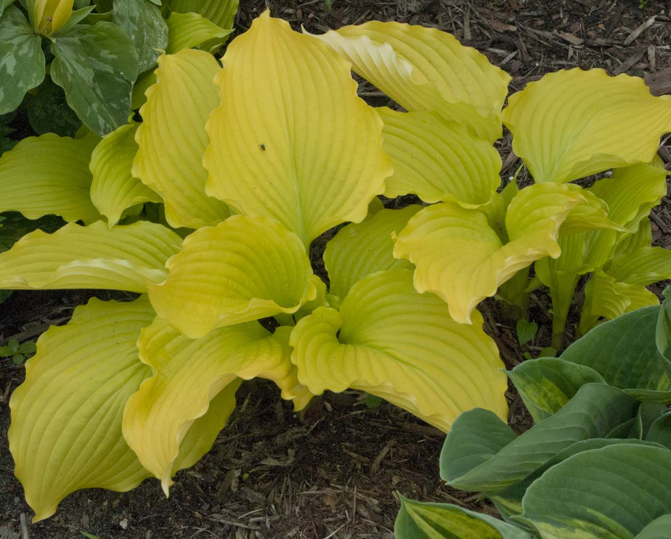 Hosta Dancing Queen Bright Yellow