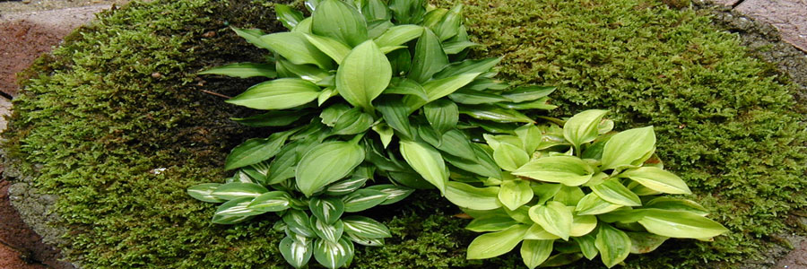 Mini Hosta Containers