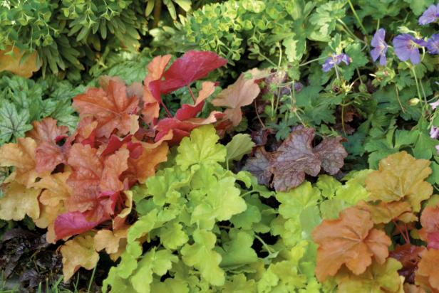 Heuchera in the garden