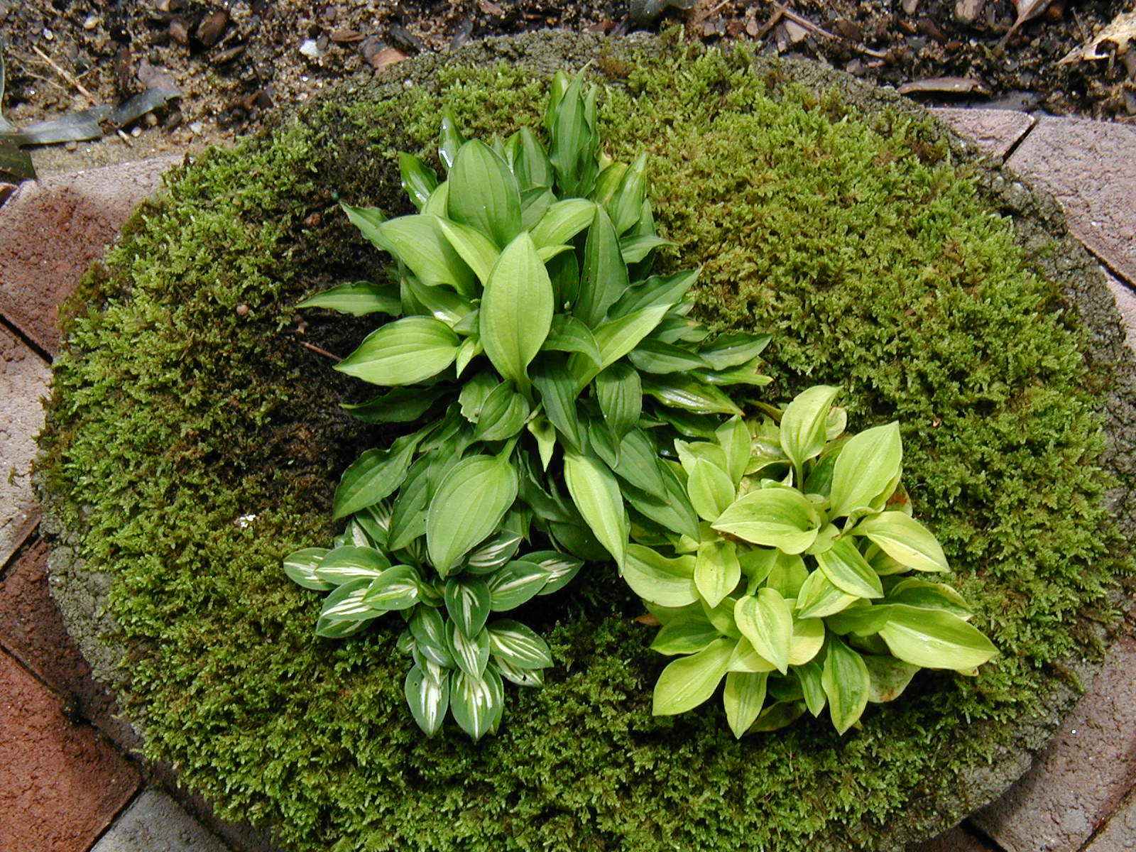 Hostas For Sale >> Buy Miniature Hosta Plants Buy Dwarf Hosta Plants Pine