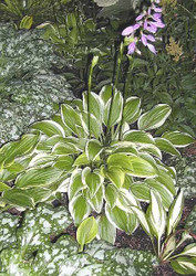 Hosta Emily Dickinson