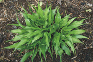 Hosta Corkscrew