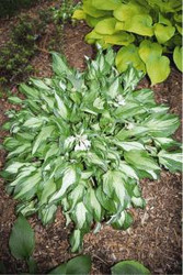 Hosta Allegan Fog