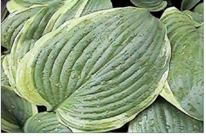 Hosta Bottom Line