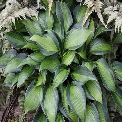 Hosta June Spirit