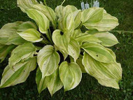 Hosta Blizzard a steaked  hosta