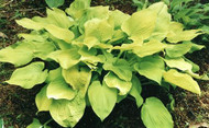 Hosta Alabama Gold