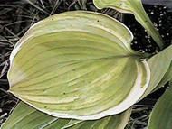 Hosta Winter Snow  Large Rounded Green leaves with a white edge.