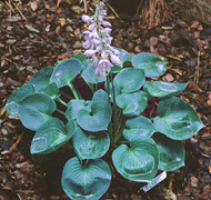 Hosta Blue Monday