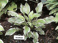 Hosta Torchlight