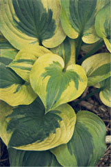 Hosta Summer Breeze