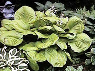 Hosta Sum and Substance - Giant Hosta