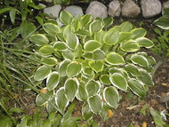 Hosta So Sweet