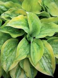 Hosta Silver Threads and Golden Needles