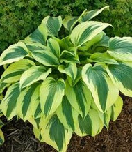Hosta Afterglow