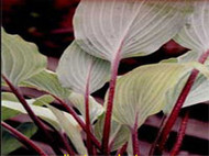 Hosta Red October