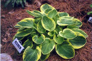 Hosta Lakeside Legal Tender
