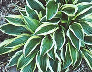 Hosta Junior Miss