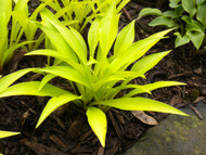 Bright yellow small hosta Munchkin Fire