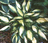Hosta Jane Ward