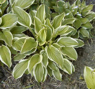 Hosta Irongate Delight