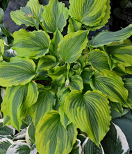 Hosta One Last Dance