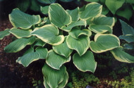 Hosta Fragrant Bouquet-Fragrant Hosta