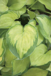 Hosta Faithful Heart