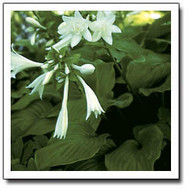 Hosta Aphrodite Fragrant Double Bloom