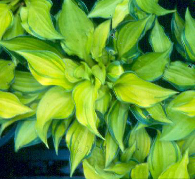 Hosta Cracker Crumbs miniature  small gold with green edge